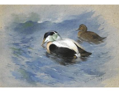 Slavné obrazy XVI-244 Archibald Thorburn - Dvě kachny