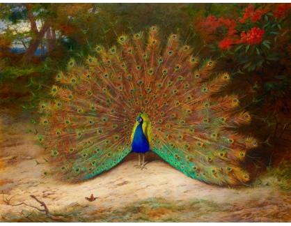 KO III-43 Archibald Thorburn - Páv a motýl