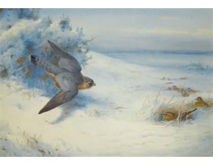 Slavné obrazy XVI-253 Archibald Thorburn - Sokol a skřívánci