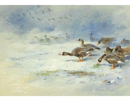 Slavné obrazy XVI-243 Archibald Thorburn - Bernešky