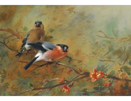 Slavné obrazy XVI-249 Archibald Thorburn - Pěnkavy